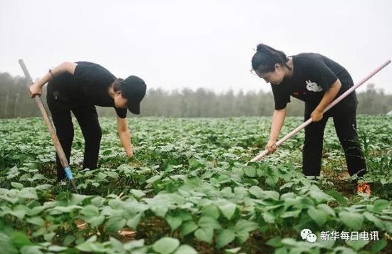 """""""洮宝""""创业团队成员在绿豆种植基地内除草。 新华社记者 许畅 摄"""