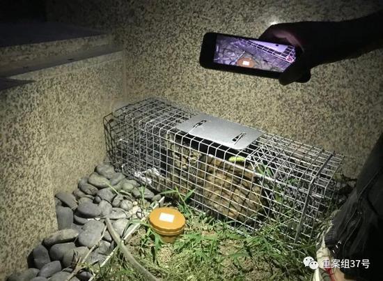 """▲丢失20天后,""""球球""""在食物的诱惑下钻进了捕猫笼。新京报记者 祖一飞 摄"""