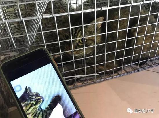 ▲9月26日,孙锦荣抓到猫后进行照片比对。受访者供图