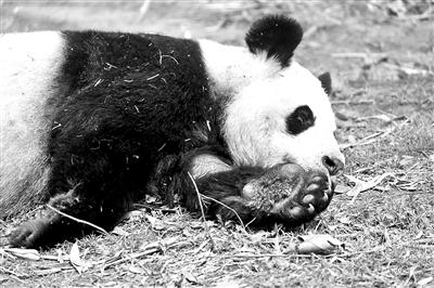 """网友拍摄的大熊猫""""娅娅"""""""