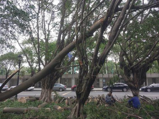 澎湃评:台风中这么多树倒了 不该