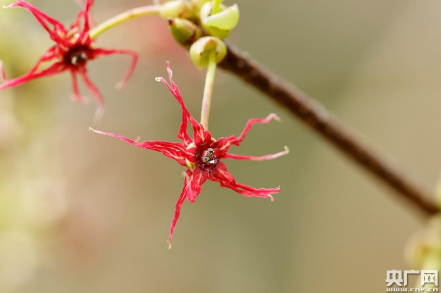 长柄双花木是中国特有树种,在南岭自然保护区大东山片集中分布有长柄双花木群落,属于国家二级重点保护野生植物,列入《中国生物多样性红色名录》濒危物种(EN)。(央广网发 伍国仪 摄)