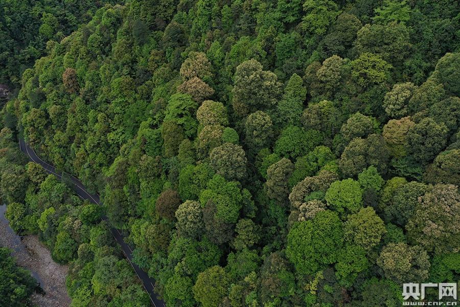 南岭的亚热带常绿阔叶林。(央广网记者 官文清 摄)