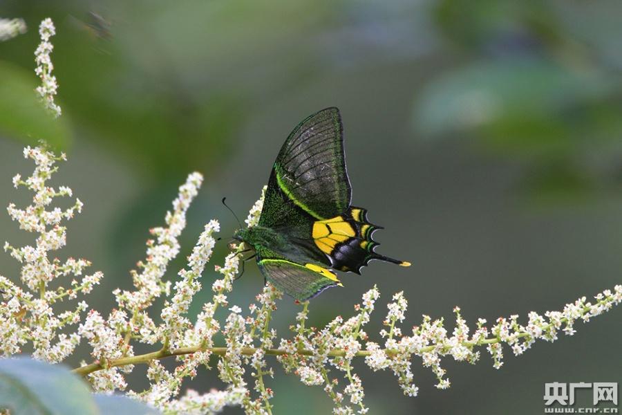 金斑喙凤蝶是亚热带、热带高山物种,栖息于海拔1000米左右的常绿阔叶林山地,是中国唯一的蝶类国家一级保护动物,排世界八大名贵蝴蝶之首。(央广网发 陈太平 摄)