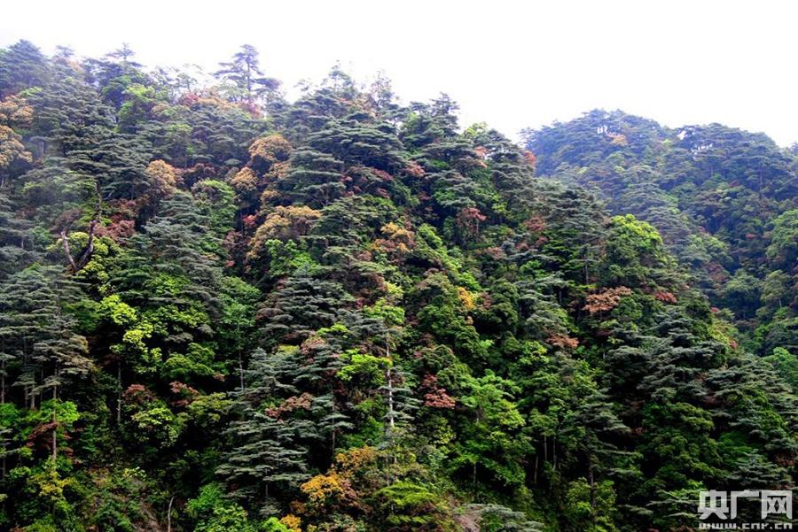 松原始森林。(央广网发 南岭国家级自然保护区 供图)