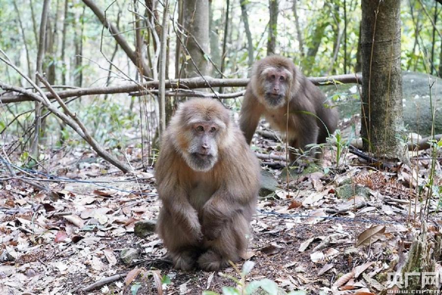 藏酋猴是中国猕猴属中最大的一种,属于国家二级重点保护野生动物。(央广网记者 夏燕 摄)