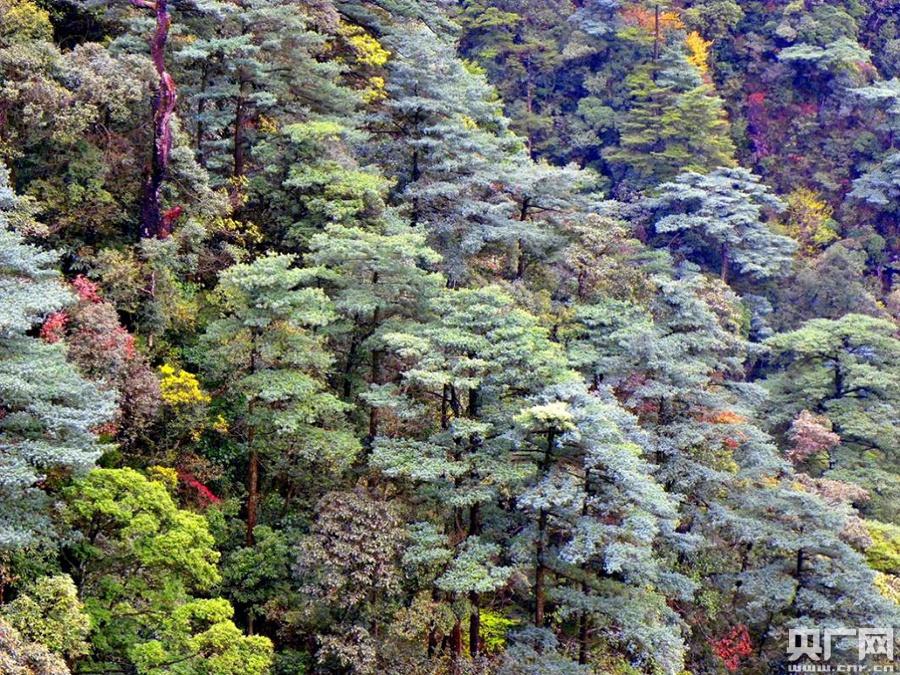 华南五针松又名广东五针松,中国特有树种,为阳性树种,分布零星,数量少,主要见于南岭山地,属于国家二级重点保护野生植物。(央广网发 龚粤宁 摄)