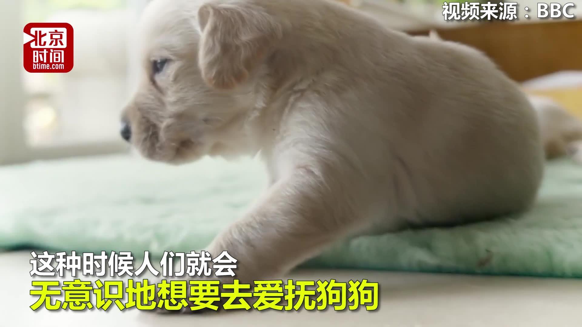 """【小心""""心机狗""""!英美专家:为求人类包养它们竟进化出婴儿眼神】有心机的狗"""