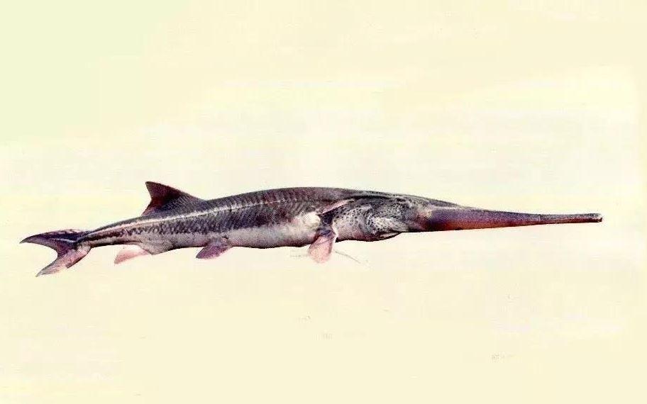 ▲图片来源:长江上游珍稀特有鱼类国家级自然保护区鱼类图集。