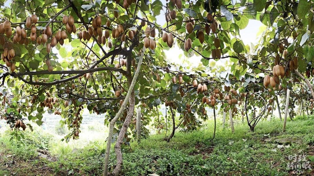 △猕猴桃是菖蒲塘村村民的重要增收财富,现栽培4300多亩。