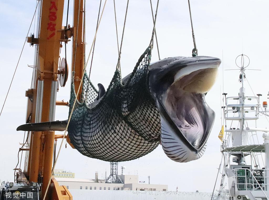 日本商业捕鲸船捕获14