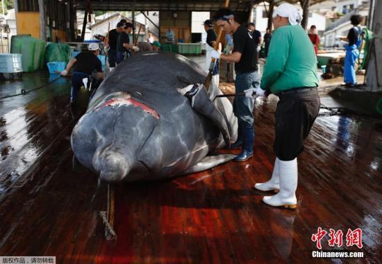 资料图:千叶市屠鲸厂组织日本在校学生围观宰杀鲸鱼的过程,并将割下的鲸肉分发给在场的人。