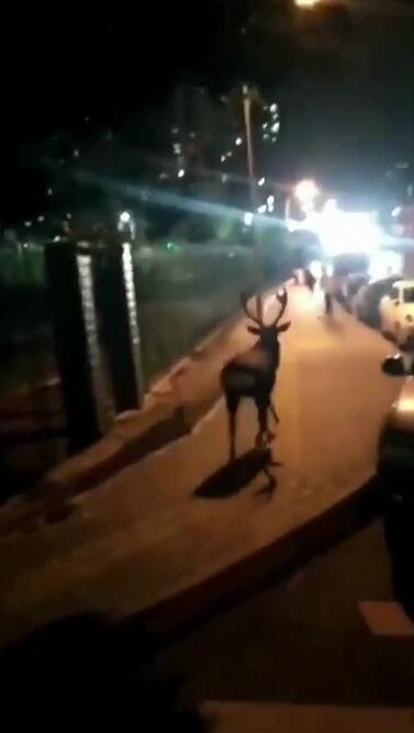 """园林部门回应""""鹿跑马路上散步"""":还未找到"""