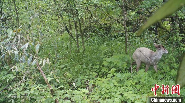 出现在神农架的白化毛冠鹿。神农架国家公园管理局供图