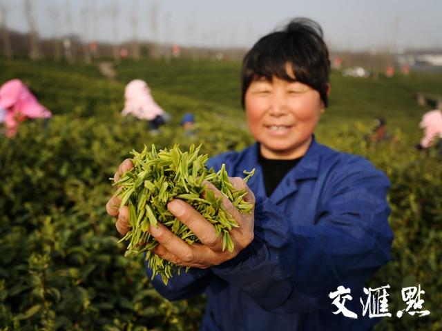 """品质更好创新更多,但用工难题待解——江苏春茶上市,一杯茶""""品""""出哪些新滋味?"""