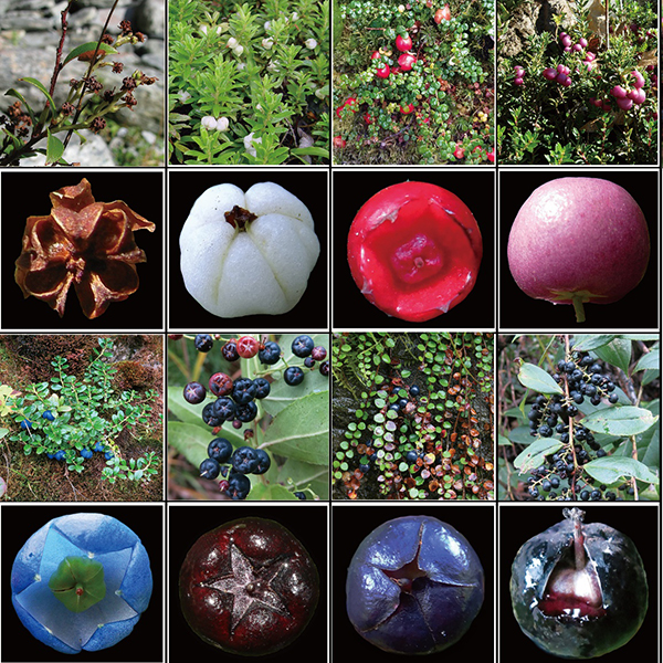 昆明植物所果实颜色生态功能分化机制研究取得