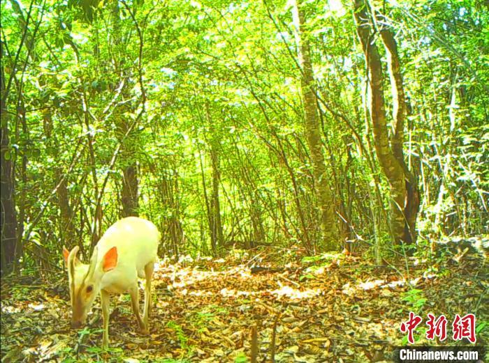 红外相机拍摄到的白化小麂截图。神农架国家公园管理局供图