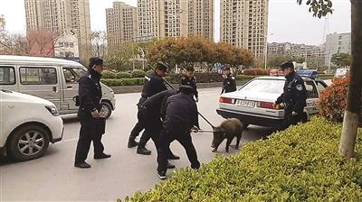 """野猪下山乱窜卡栅栏 七八个民警将它""""扭送""""动物园"""