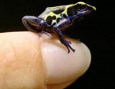 图文:澳大利亚动物园成功繁殖巨毒迷你青蛙