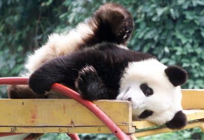 图文:北京动物园征集母狗乳汁喂养小熊猫