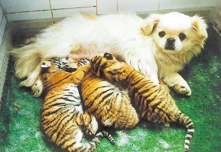 """12日晨,成都动物园一只名叫""""玉玉""""的东北虎产下三只可爱的虎宝宝,但"""