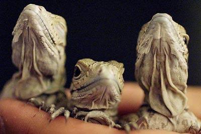 图文:悉尼动物园展出稀有动物鬣蜥