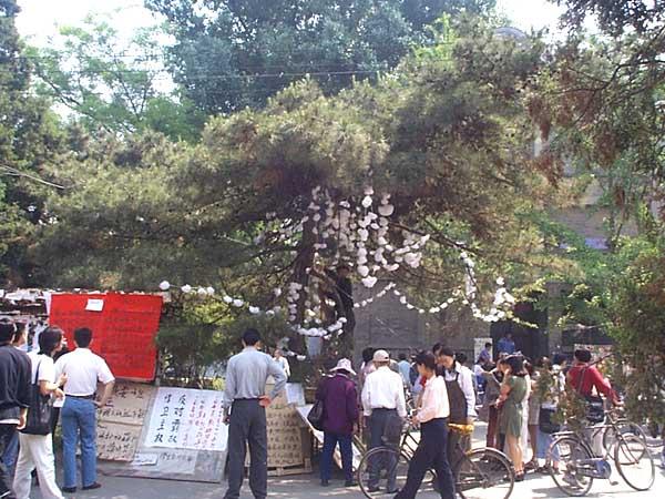 午,北大学生在三角地大松树上,挂出自己亲手制做的串串小白花,