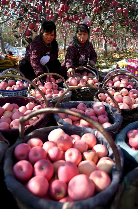 陕西省延安市宜川县交里乡太泉村的果园里,村民在分拣苹果(新华网)