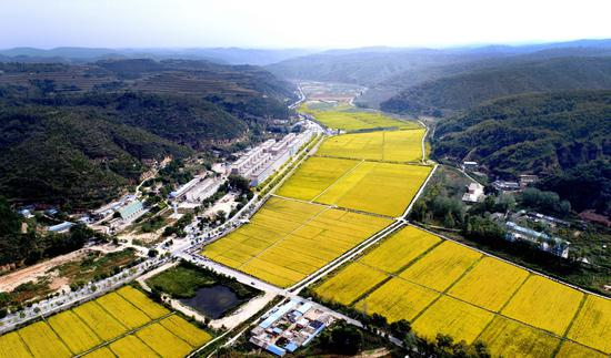 陕西省延安市南泥湾的金色稻田(新华网)