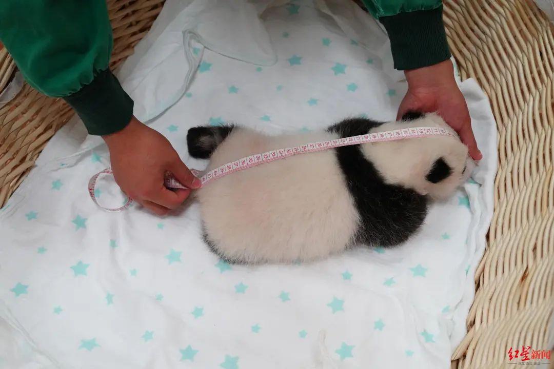 粉嫩!中国大熊猫保护研究中心迎来今年最后一只幼崽