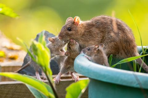 英国垃圾过剩滋生大批硕鼠:个头如猫 大举入侵民宅