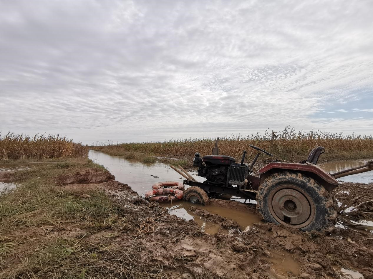 秋汛影响下的秋收:收玉米多靠人工,雇人日薪涨至四百元