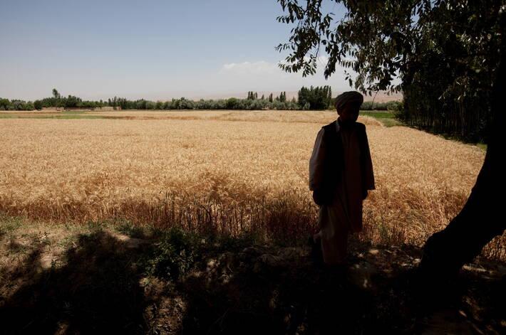 联合国粮农组织呼吁募集3600万美元 帮助阿富汗农民抢种小麦
