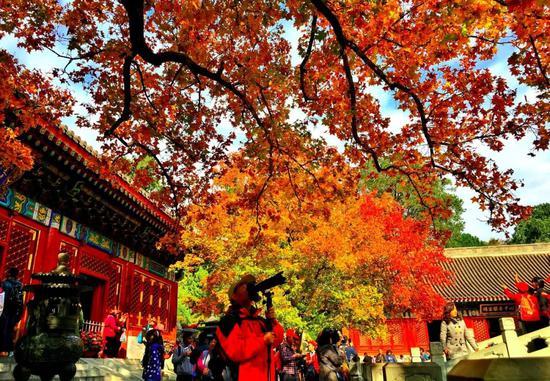 香山公園勤政殿門前的兩株元寶楓五彩美麗