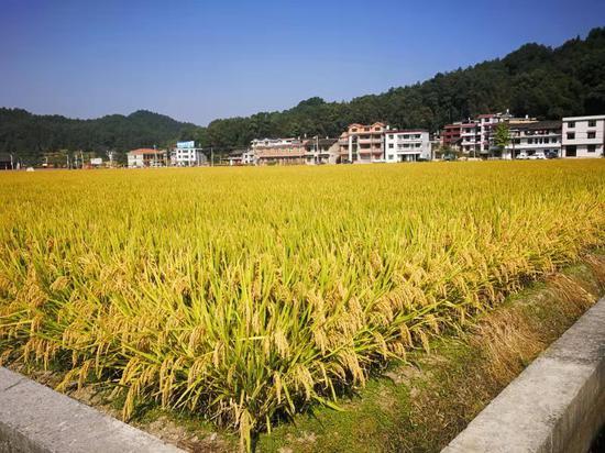 7 湖南省水稻单产取得新突破 亩产达1089公斤