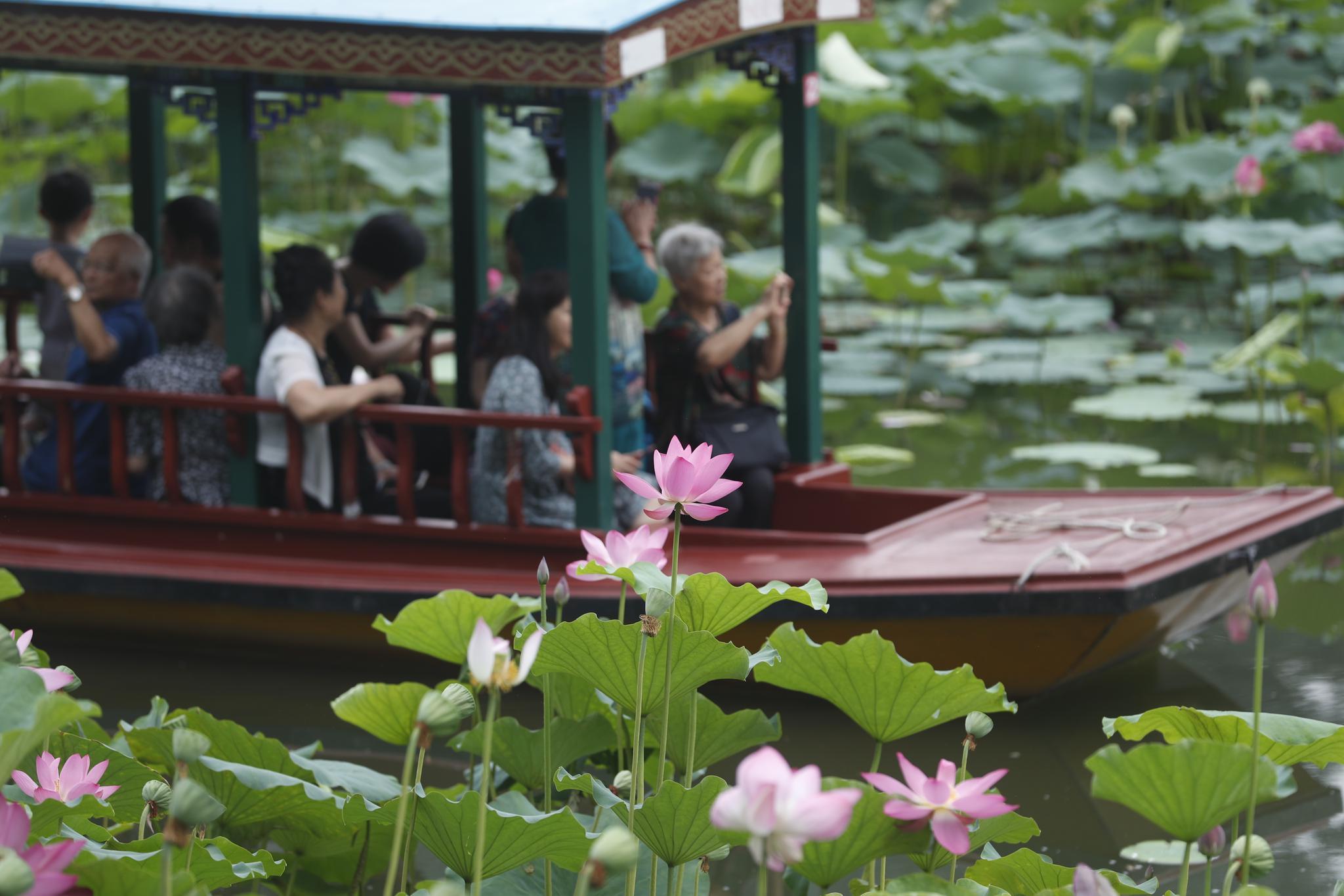 美洛蒂故事集 紫竹院公园竹荷文化展开幕,荷花可赏至九月中下旬