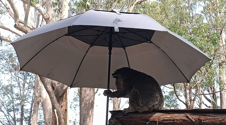當考拉沒有大樹乘涼怎么辦?澳大利亞網友熱議