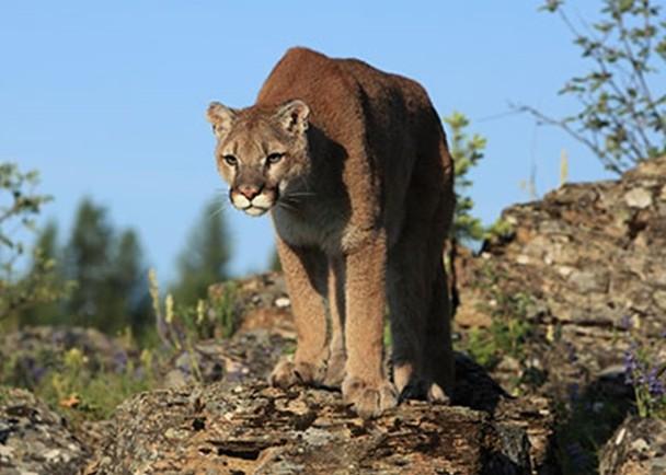 美洲獅(圖源:Getty Images)