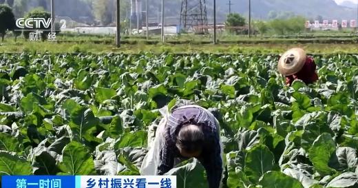 """【乡村振兴看一线】贵州岑巩:""""菜篮子""""带来好""""钱""""景"""
