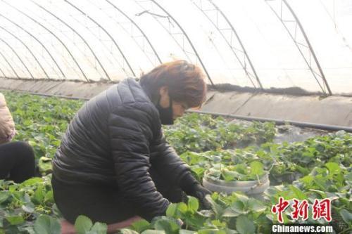 """隆冬时节,山西省长治市长子县的蔬菜大棚内""""春意盎然""""、生机勃勃。 王维宁 摄"""